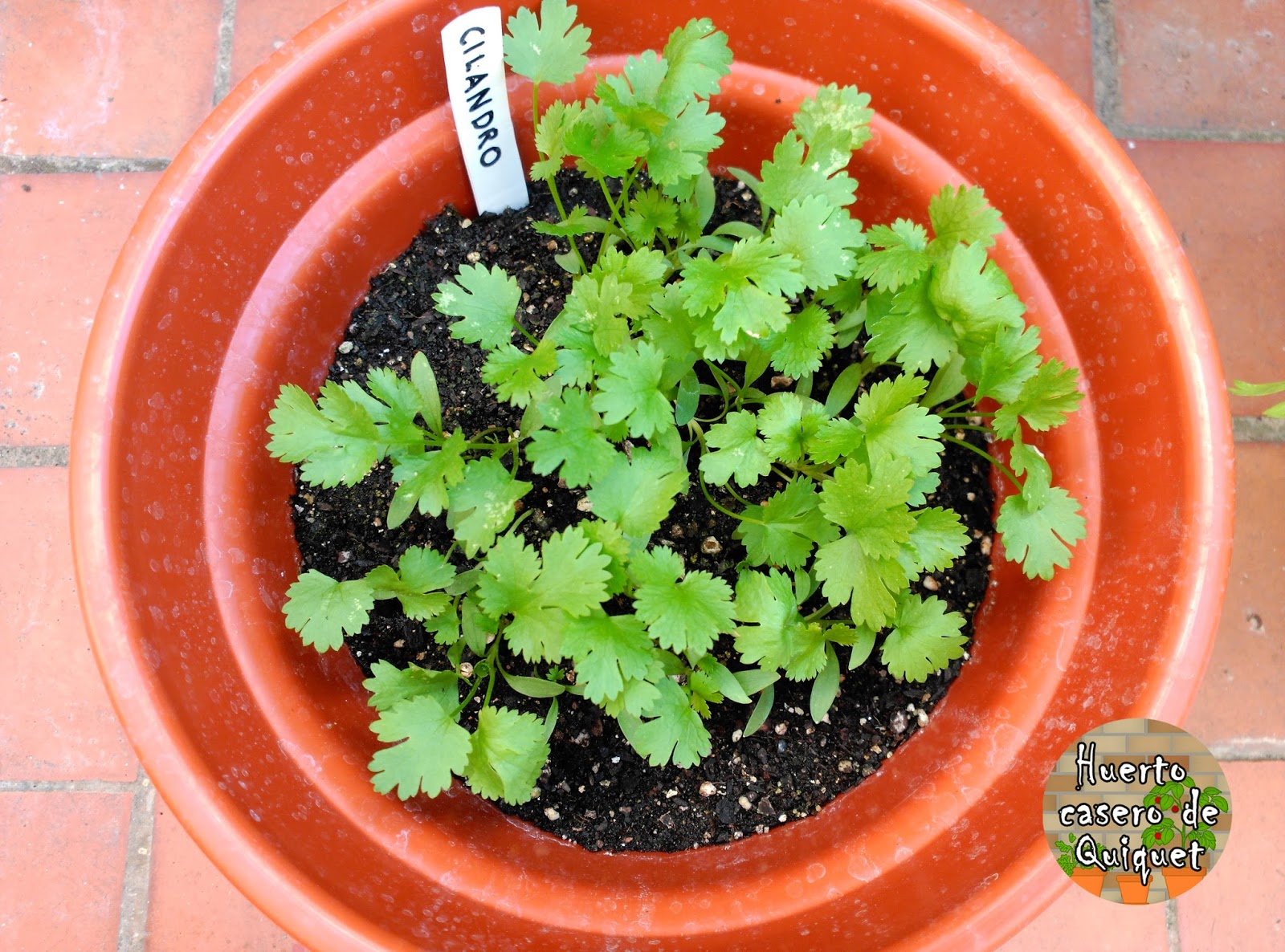 Huerto casero de quiquet como sembrar cilantro en casa for Como sembrar semillas en macetas