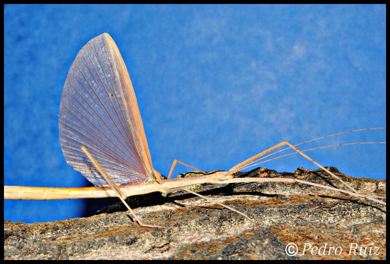 Detalle de las alas de una hembra adulta de Sipyloidea sipylus