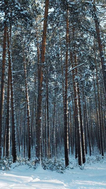 Wallpaper HD Winter forest, snow, pines, trees, conifers
