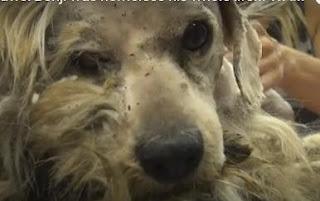 mite, ticks, fleas, dog