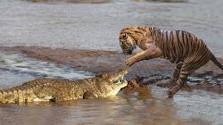 Hổ tử chiến với Cá Sấu, ai sẽ là kẻ chiến thắng?