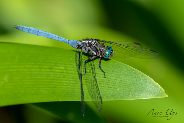 Dragonfly at Harold Porter Botanical Garden