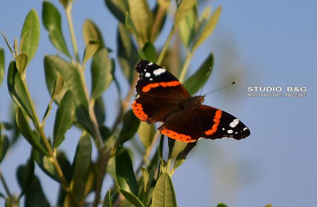 Vanessa Atalanta: Μια κοσμοπολίτισσα πεταλούδα στο Ναύπλιο