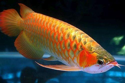 Supplier Jual Bibit Ikan Arwana Medan, Sumatera Utara #1