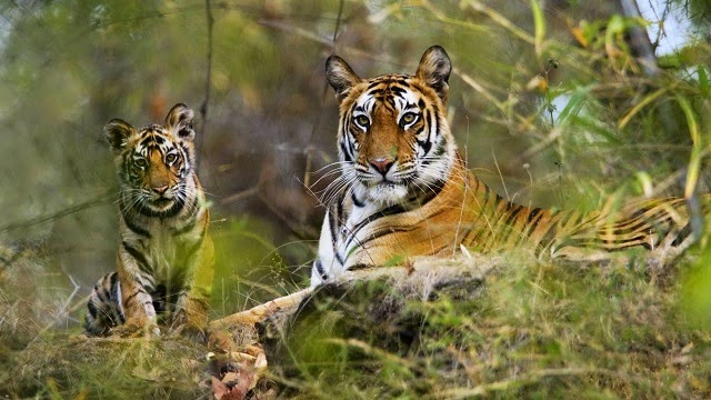 Bandhavgarh National Park - one of the highest densities of tigers in India