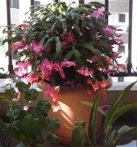É uma planta que pode ser cultivada em vasos à sombra ou meia sombra.