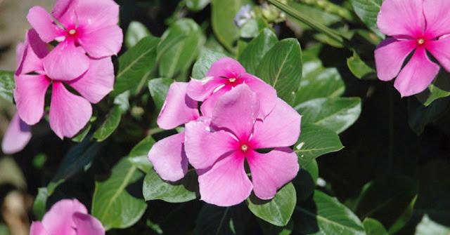Vinca Rosea Medicinal Uses- sadabahar