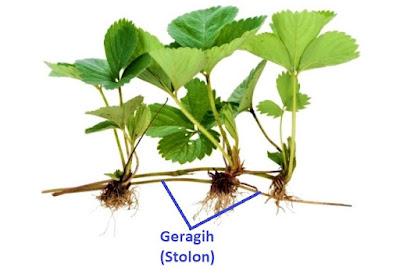 geragih stolon perkembangbiakan vegetatif tumbuhan