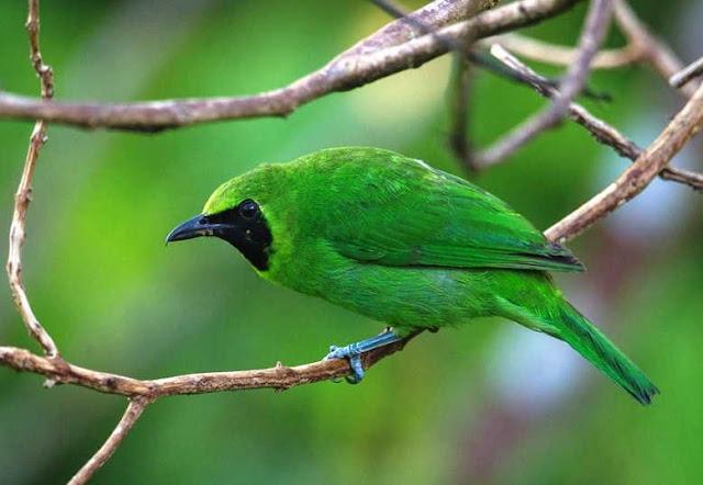 Gambar burung cucak ijo