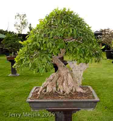 Bishopsford Bonsai Nursery Root Over Rock Ficus