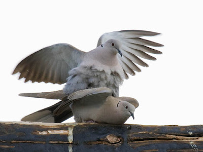 Photo of mating pair of Eurasian Collared-Doves