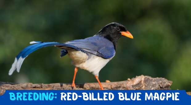 how to Breed Red-billed Blue Magpie