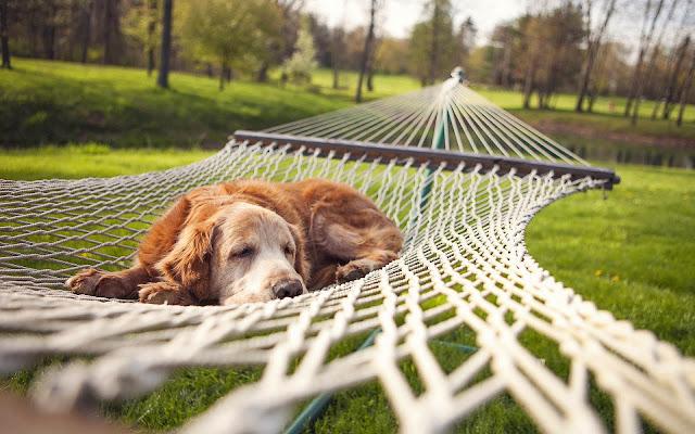 Hond in een hangmat