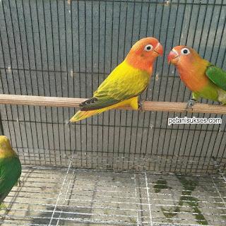 harga lovebird euwing gold terbaru 2019