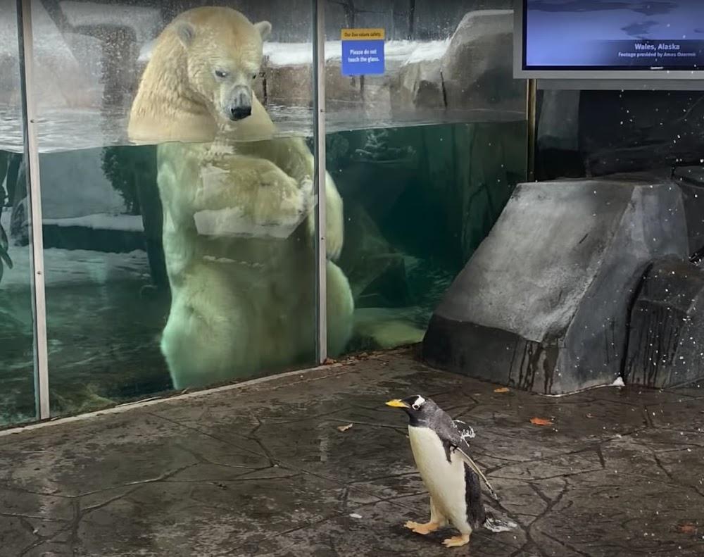 Pinguine besuchen einen Eisbär   Der Süden trifft auf den Norden beim Zooausflug in Saint Louis