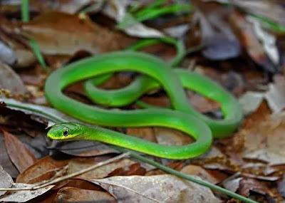 Rough Green Snake (Opheodrys aestivus) Care