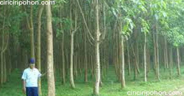 ciri ciri pohon jati putih