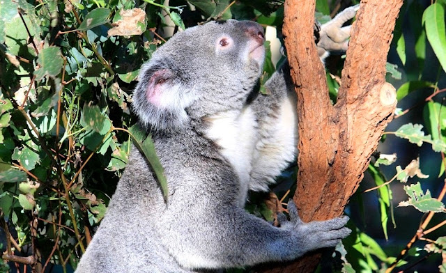 Hewan Koala  di Obyek Wisata Lone Pine Koala Sanctuary