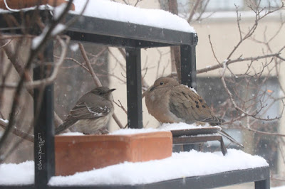 "The seventh bird-themed image in this post. This picture shows two birds standing on a garden shelf during a snowfall. A Northern mockingbird is on the left and a Mourning dove is on the right.  These bird types are featured in my book series, ""Words In Our Beak."" Info re my books is included within another post on this blog @ https://www.thelastleafgardener.com/2018/10/one-sheet-book-series-info.html"