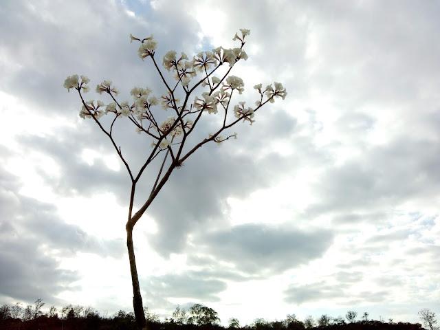 Ipê Branco recortado contra céu de nuvens