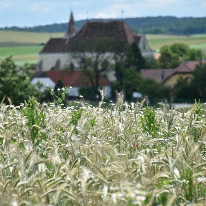 sich färbendes Kornfeld und Kirche von Eggendorf im Thale