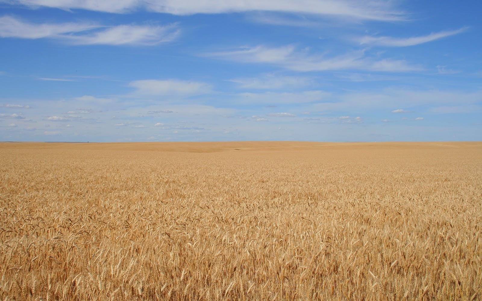 hình nền cánh đồng lúa mì trên thảo nguyên mênh mông