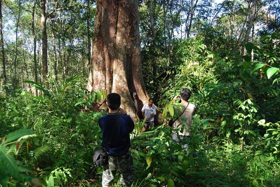 pohon buah lahung kalimantan