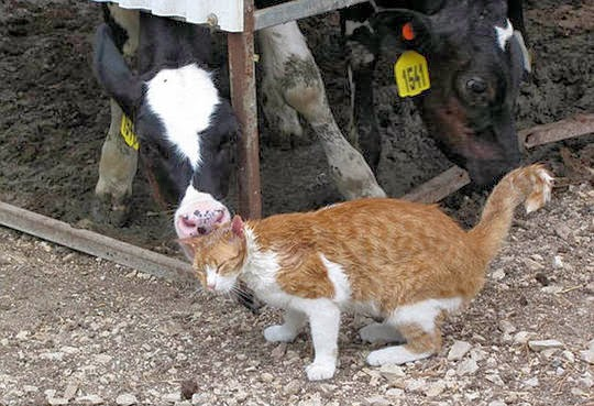 cat cow friendship