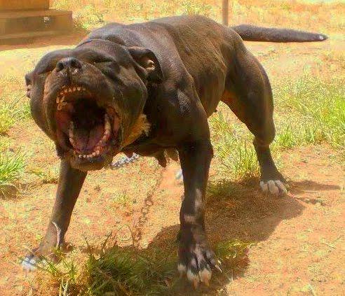 Pitbull Dogs Fighting - photo#16