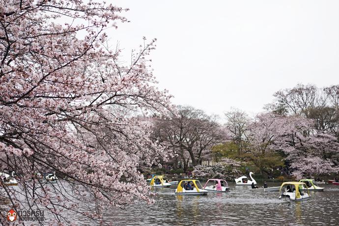 8. ทัวร์โตเกียว ชมซากุระที่สวนอิโนคาชิระ