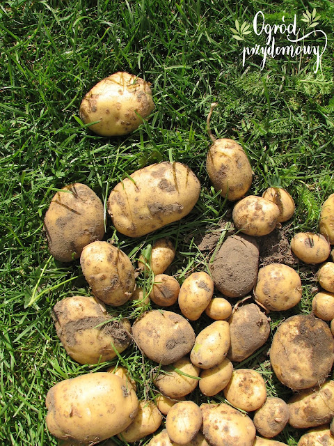 podsumowanie tegorocznych plonów, tegoroczne plony, tegoroczna uprawa warzywnika, ogrod przydomowy
