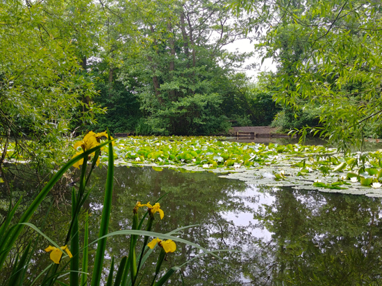 Yellow flag and water lilies on Gobions Pond towards the end of the walk