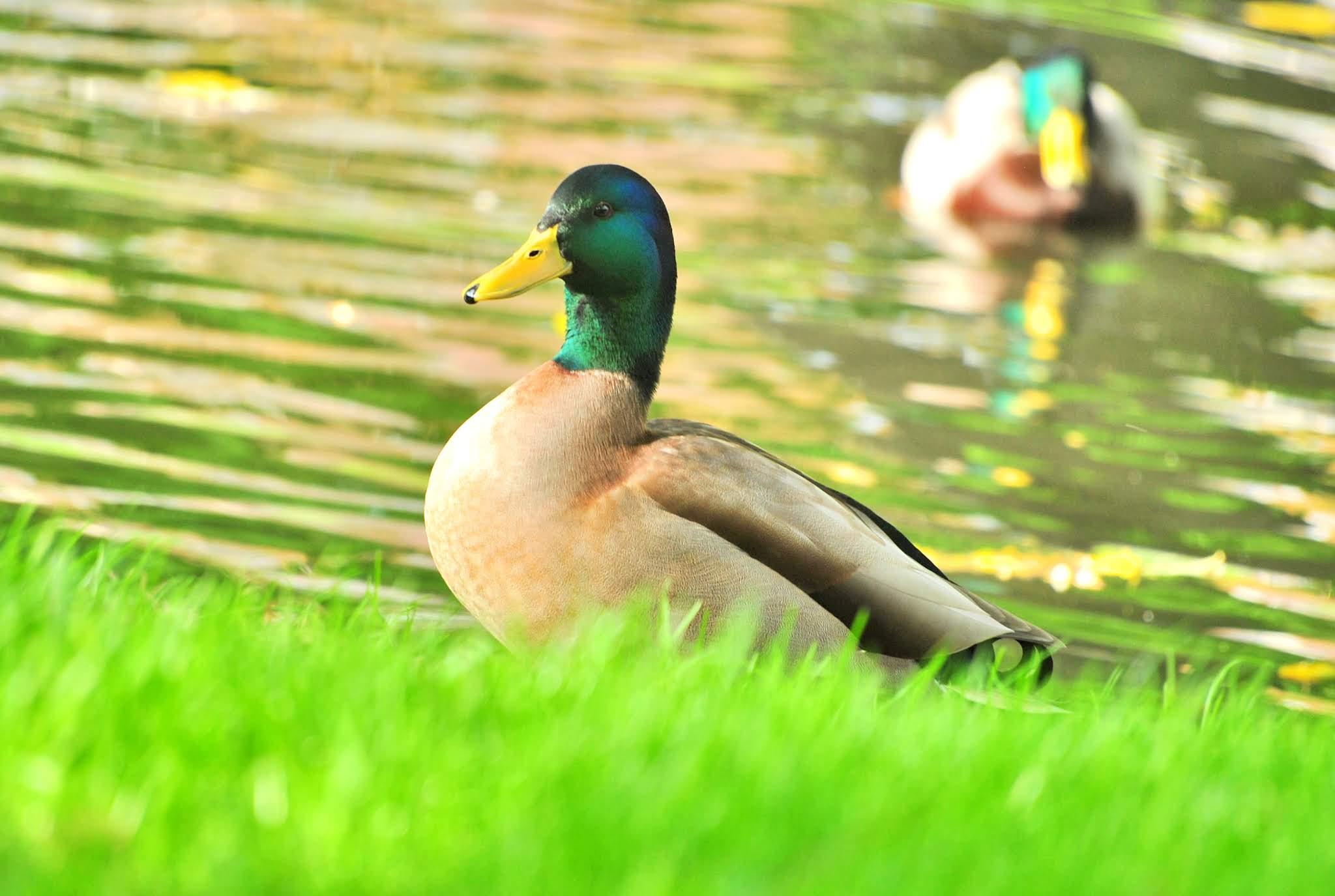 kaczki w holandii