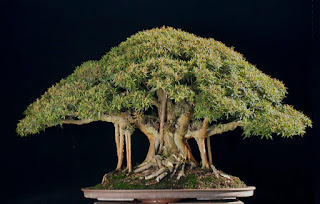 broadleaf evergreen bonsai, bonsai in the tropics, bonsai for hot climate, bonsai tree names and pictures, types of bonsai styles, indoor outdoor bonsai, types of bonsai trees with pictures, types of bonsai trees indoor with pictures