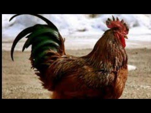 """يقول غرينبيس إن الدجاج """"الصديق للبيئة"""" يجب استبدال اللحوم بالدجاج شاهد السبب - موقع اخبار فلسطين اليوم"""