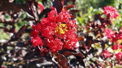 Bông hoa tường vi đỏ