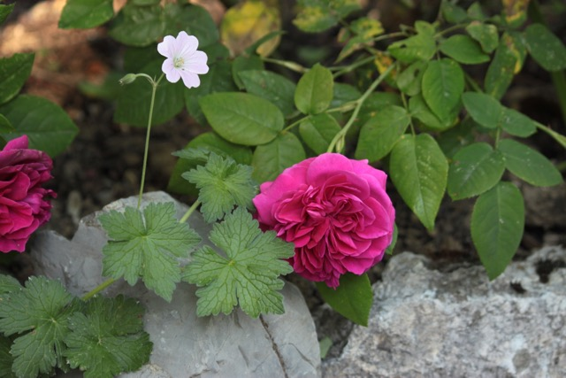 association geranium vivace rose
