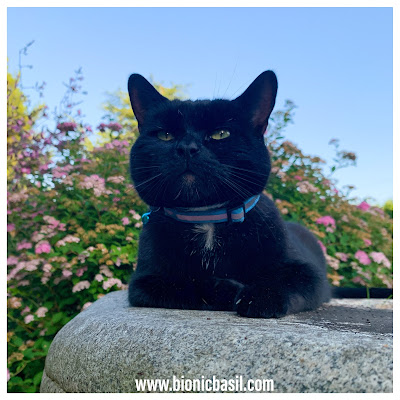 Black Cat Appreciation Day 2020 with Parsley Sauce ©BionicBasil® Stone Circle Cat
