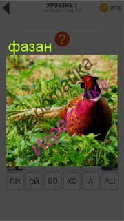 в траве сидит разноцветный фазан 7 уровень 400+ слов 2