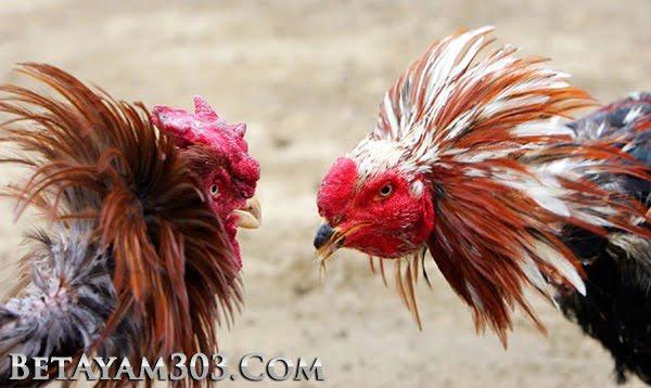 Sabung Ayam Live, Sabung Ayam Online, Sabung Ayam S128, S128,