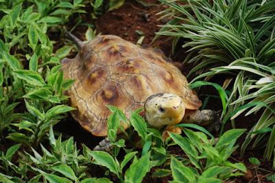 Makanan kura-kura Yuwonoi