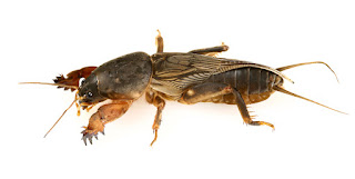 Mole Crickets In Your Lawn