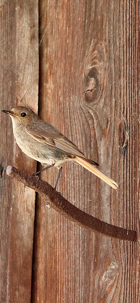 Picture of black redstart.