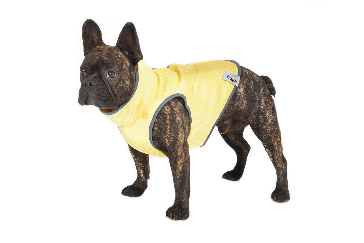 Gold Coast Frenchie Wilko wears a yellow dog cooling vest designed by furmum Belynda