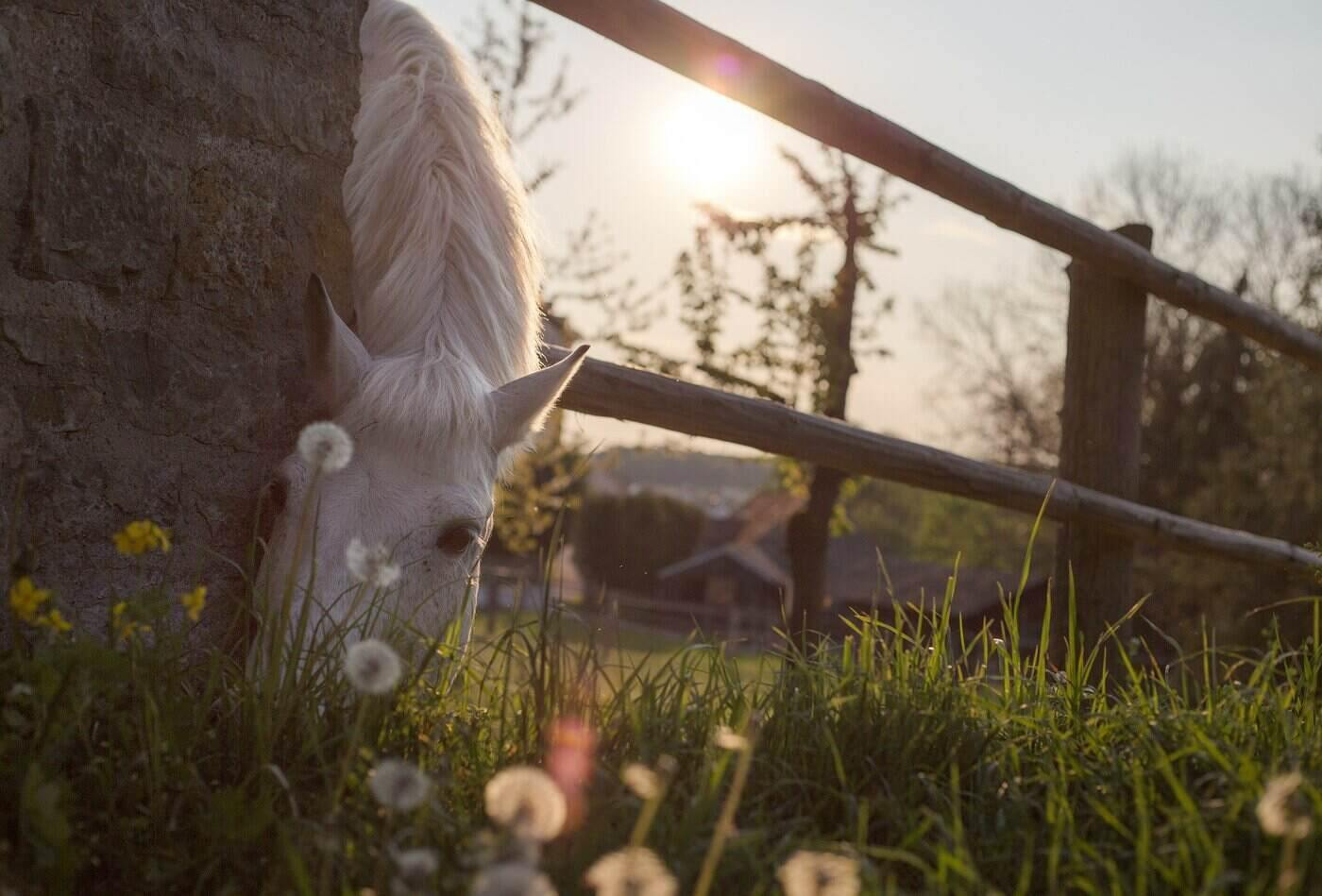horse grazing through fence - the importance of horse supplements for optimal health
