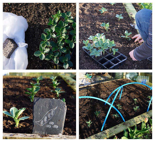 planting out the broad beans - a stubborn optimist blog - C Gault 2020