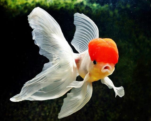 Dunia Ikan Hias - Ikan Air Tawar Koki