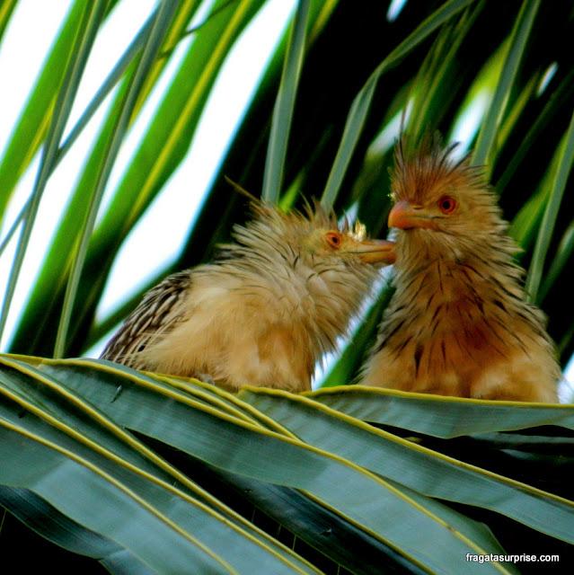Filhotes de carcará no ninho, Pantanal do Mato Grosso