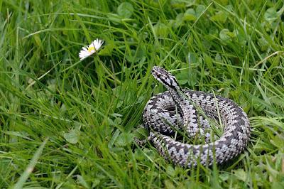 kígyómarás, Hargitafürdő, kullancscsípés, vipera