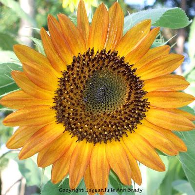 Pretty Yellow-Orange Muted Sunflower Blossom